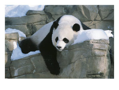 a-panda-rests-in-the-snow-at-the-national-zoo-in-washington-dc-photographic-print-c118907991